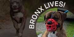 A picture of Bronx the dog with bright red muzzle on. In the background, a happy pitbull runs toward the camera.